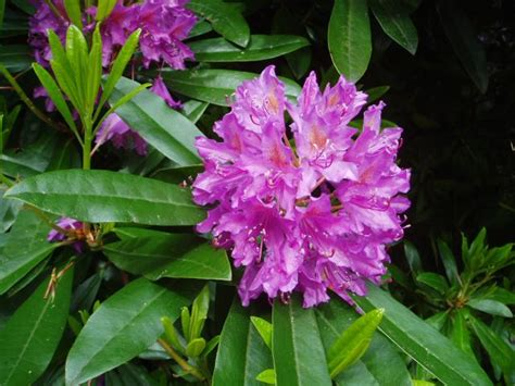 file rhododendron by eiffel public domain 20040617 jpg wikipedia