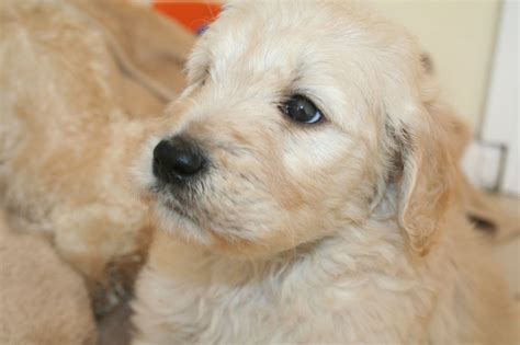 goldendoodle puppies for sale in essex goldendoodle f1 puppies ready now maldon essex pets4homes