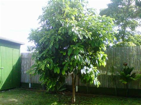 avocado tree backyard fruit nut trees