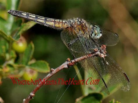 oregon dragonflies digital odonata photo gallery by