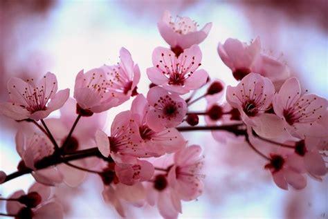 ciliegio da fiore giapponese ciliegio da fiore alberi ciliegio da fiore