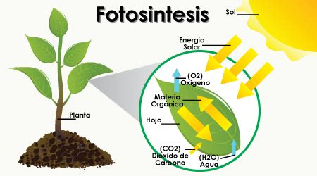 fotosintesis de las plantas la fotosintesis buscar con google la fotos 205 ntesis de