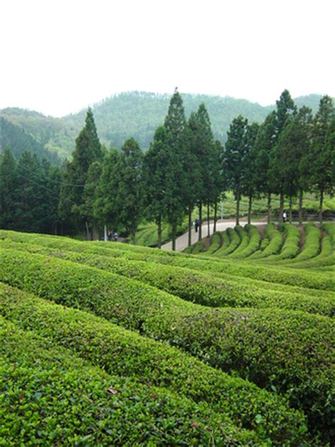 green tea farm 1, photo file, #1492808 freeimages.com