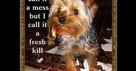 housebreaking a yorkie in 5 days yorkie memes search i animals specially yorkies