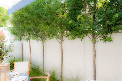 privacy trees for small backyards small trees planted along the private garden fence of the