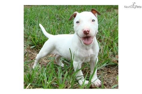miniature bull terrier puppies for sale miniature bull terrier puppy for sale miniature bull terrier puppies breeds picture
