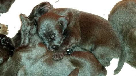 pudelpointer puppies for sale pudelpointer pups for sale cabin creek gun dogs