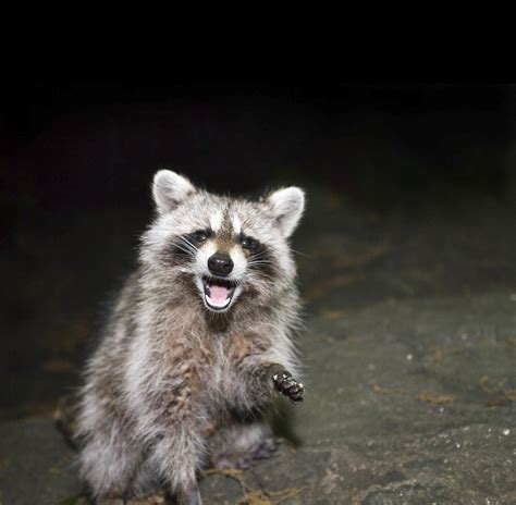 raccoon and raccoon removal indianapolis