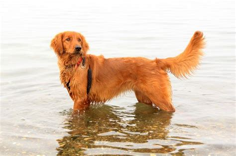 setter golden retriever cross 17 best images about breeds on spaniels beagles and dogs