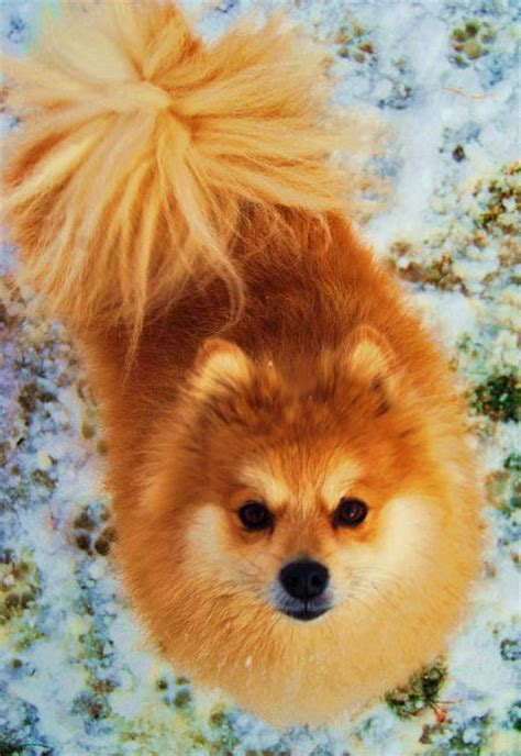 pomeranian therapy bruiser the pomeranian dogs daily puppy