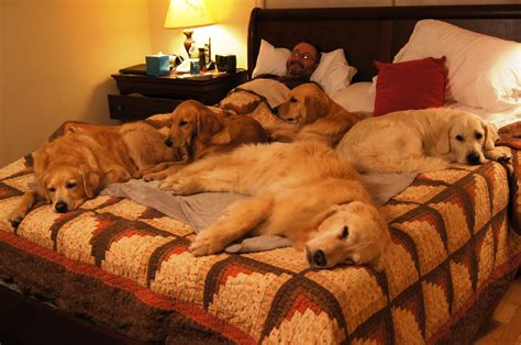 golden retriever dog house golden retriever house training dog breeds picture