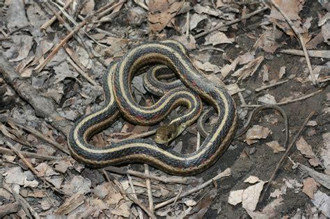 Garter Snake Belly Common Garter Snake Thamnophis Sirtalis Reptiles And