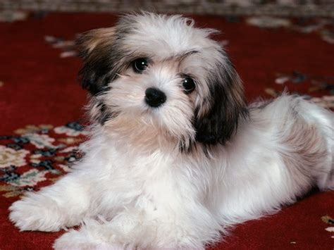 haired puppies 13 haired breeds