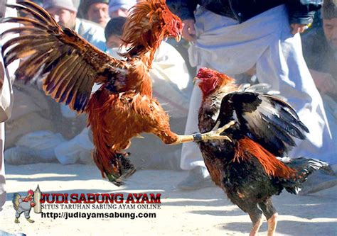 tips ampuh memperkaya teknik bertarung ayam bangkok