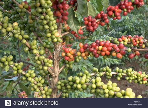 Coffee Tree coffee tree coffea arabica branches with coffee berries