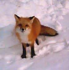 what color are foxes foxes animals wiki pictures stories