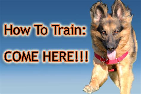 how to trained dogs how to your quot come here quot perfectly
