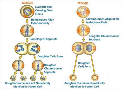 mitosis and meiosis a comparison | tutorvista.com