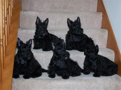 scottish terrier puppies scottish terrier justadogg