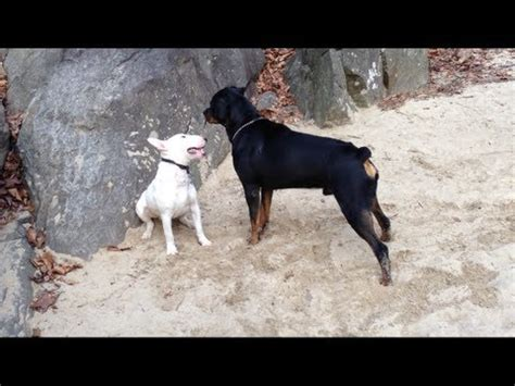 my rottweiler is getting aggressive bullterrier vs pitbull by losversus