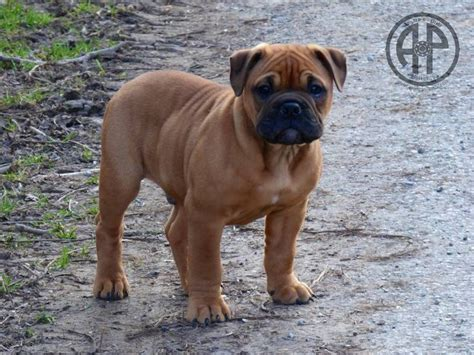 Sepatu Picboy Buldog 1 1000 images about it the bulldogsss on doggies and bulldog