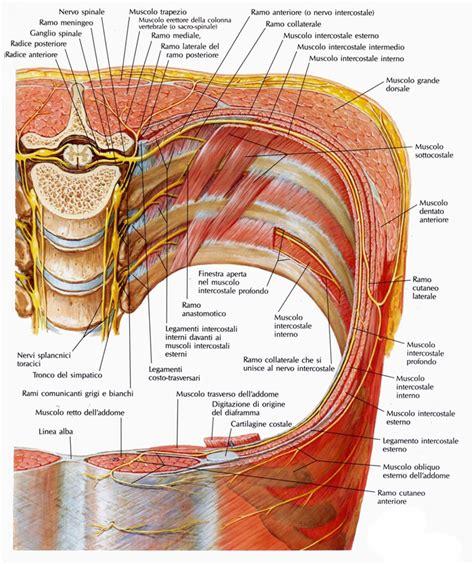 dolore gabbia toracica posteriore muscoli sottocostali medicinapertutti it