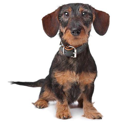 miniature dachshund miniature dachshund pet insurance