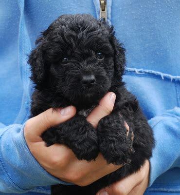 black labradoodle puppy miniature black australian labradoodle puppy 171 manor lake australian labradoodles