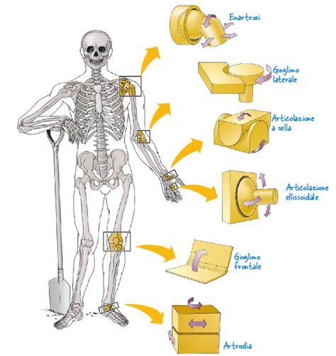 articolazione mobile biologia le articolazioni fisiologicamente