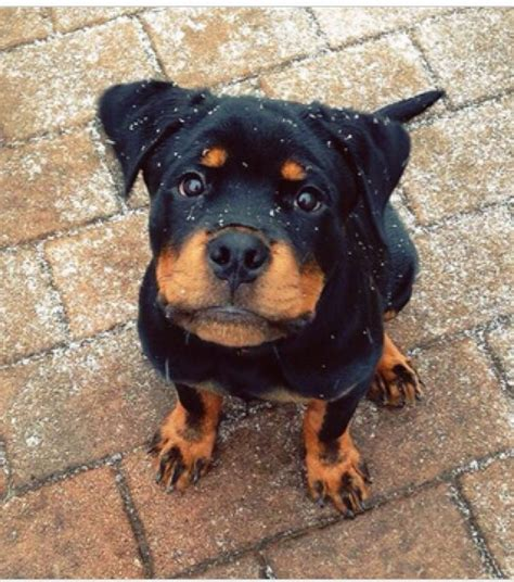 rottweiler puppies 1067 best images about sweet rottweiler puppies on
