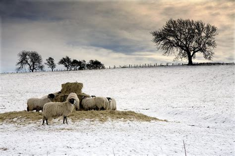 Patchwork Duvet Cover Sheep In Field Of Snow Northumberland Photograph By John
