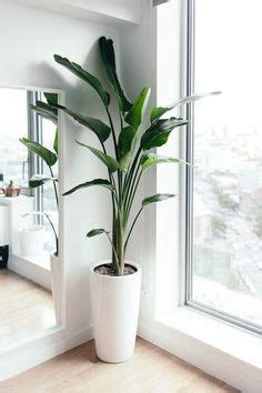 tall indoor plants images indoor plants plants