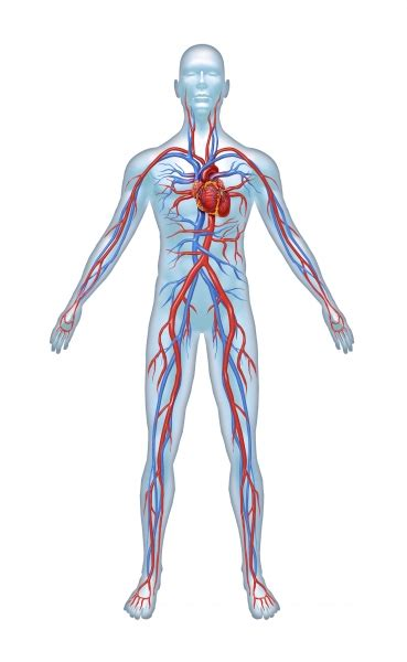human vascular system diagram the tissues in the human anatomy and physiology