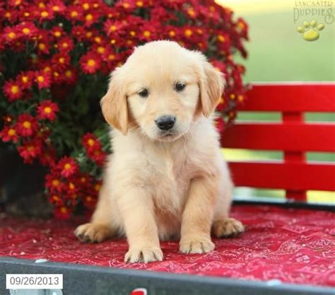 golden retriever puppies for sale in new york golden retriever puppy for sale golden retrievers