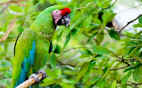 imagenes de guacamayas verdes guacamayo verde mayor safaricks zoologico