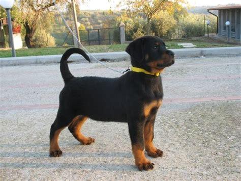 shih tzu puppies for sale inland empire shih tzu puppies for sale inland empire ca breeds picture