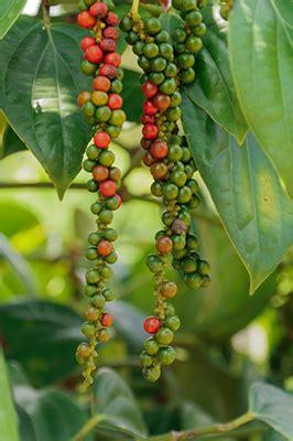 grow black pepper grow