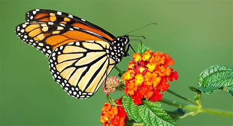 imagenes una mariposa por qu 233 mariposas qu 233 significado tienen enbuscadelaluz