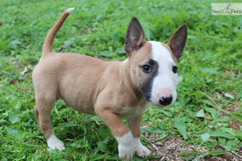 miniature bull terrier puppies miniature boston terrier puppy for sale breeds picture
