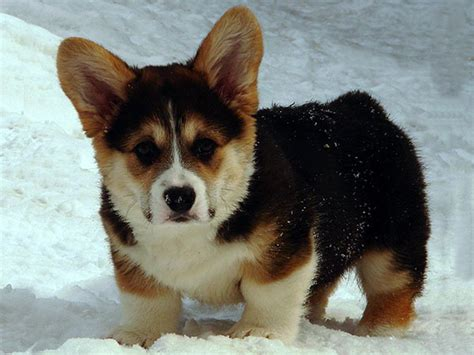 black corgi puppies black corgi puppies for sale charming happy loving energetic disposition he is