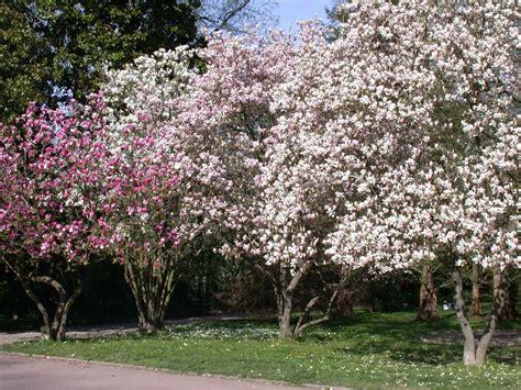 imagenes de magnolias blancas as magn 243 lias jardiland portugal jardiland portugal