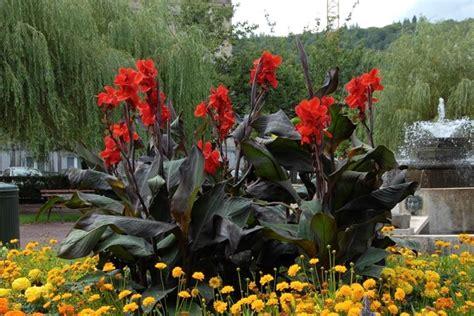 canna indica in vaso canna fiorifera canna indica bulbi caratteristiche
