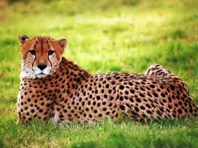 Jaguars Moving To La Cheetah The Animals Kingdom