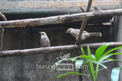 Kawat Ram Sidoarjo cara kilat sukses cucakrawa burungnews