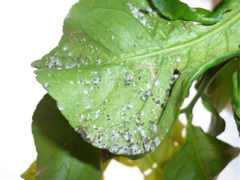 parassiti limone in vaso malattie agrumi alberi da frutto agrumi malattie