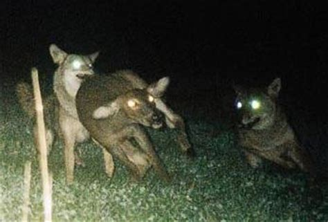 best light to use night coyote hunting coyotes in nature pic page