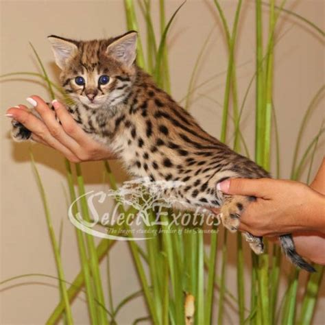 cat price f1 kittens for sale select exotics