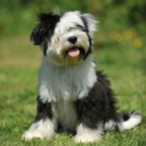tibetan terrier puppies tibetan terrier dogs truly s best friend