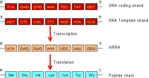 difference between template and coding strand as mrna question the student room