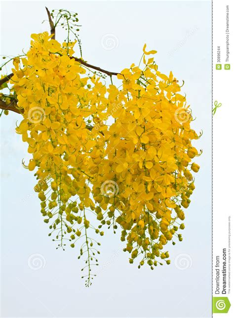Golden Shower by Golden Shower Flowers Stock Images Image 30896244